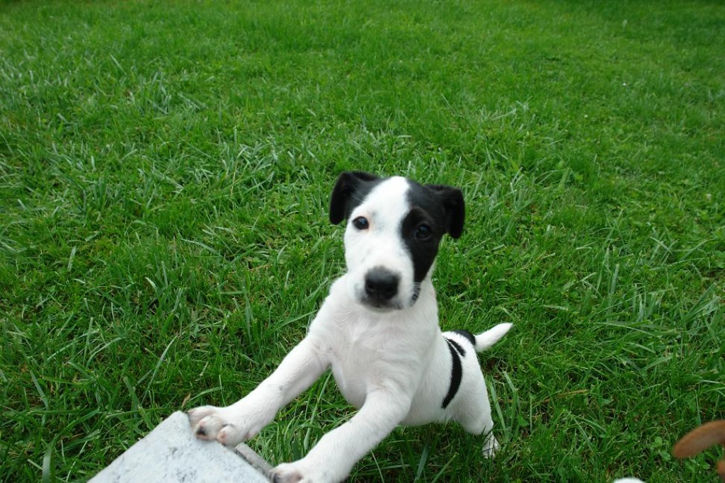 Foxterrier Mischling - Only Fine Pictures